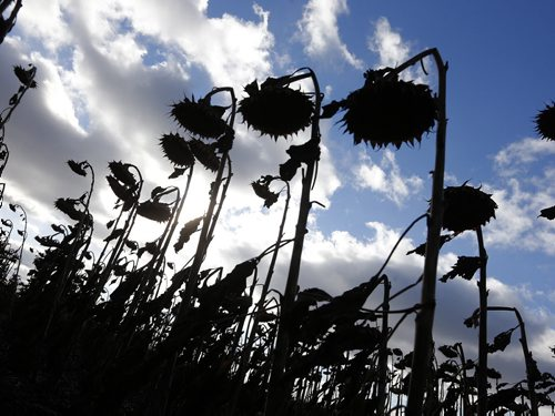 Stdup Very Scary Scenes before  halloween , sunflower heads droop  in the later afternoon sun waiting for harvest  along Sturgeon Rd. Oct. 30 2014 / KEN GIGLIOTTI / WINNIPEG FREE PRESS