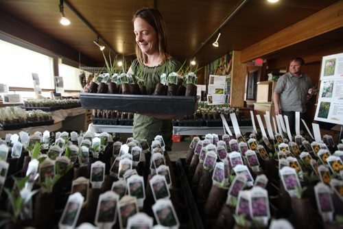Aimee McDonald, owner of Prairie Flora Greenhouse sets up dozens of  trays with deep plugs of native Manitoba Prairie plants, wild flowers and grasses at Living Prairie Museum Friday.  By growing native prairie plants you are helping restore Manitoba's heritage and also providing resources for butterflies like milkweed for  the monarch butterfly to thrive in your yard.  Her plants are available for sale throughout the weekend and the following 3 Sundays  at the museum. Standup photo  May 14, 2015 Ruth Bonneville / Winnipeg Free Press