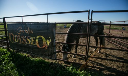 A local farm is hosting the 65 horses that are the stars of the upcoming Cavalia Odysseo show as they wait for their stable to be built at the big tent set up off of Route 90 in south Winnipeg. 150901 - Tuesday, September 01, 2015 -  MIKE DEAL / WINNIPEG FREE PRESS