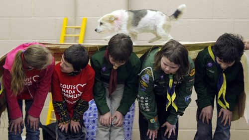 BORIS MINKEVICH / WINNIPEG FREE PRESS LOCAL STDUP - Twisty the rescue dog walks over the backs of some Scouts attending the event. There was a dog show put on by Hull's Haven Border Collie Rescue.  From press release:  Winnipeg Scouts Pamper Rescue Dogs, Creating Food Dispensing Games, Handmade Beds and Treats During Good Turn Week, April 22 – May 1. Scouts Canada is challenging all Canadians to join them in performing a Good Turn as part of a national movement to spread goodwill during Good Turn Week, April 22 – May 1, 2016. A Good Turn doesn't have to be a grand gesture; it can be as simple as helping a neighbour unload their groceries or helping someone who is short of change at the store checkout. Scouts from across Winnipeg are collecting donations of towels, blankets, toys, dog food and other pet supplies for Hull's Haven Border Collie Rescue. The Scouts are also building fun food dispersing games, making handmade dog beds and creating homemade treats for the rescue dogs awaiting new homes.  Photo taken at Transcona Scout Hall. April 28, 2016