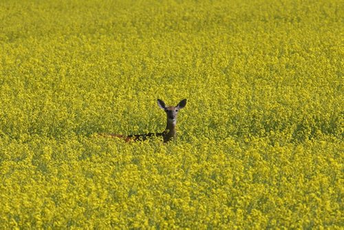 Brandon Sun 20072009 A white-tailed deer is surrounded by a sea of yellow while grazing in a field of canola north of Brandon on Monday morning. (Tim Smith/Brandon Sun)