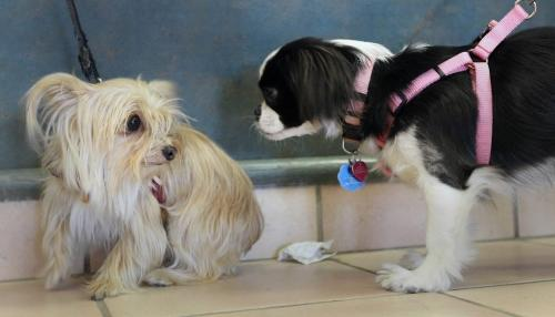 """JOE.BRYKSA@FREEPRESS.MB.Ca  Local-  ( See Matt's brief)- Cuddles a Yorkshire / Chiuaua cross, left, and Isbella a Japanese Chin get to know each other at the Animal Services first ever """"License-a-thon"""" and Open House on Saturday, from noon to 4 p.m. at 1057 Logan Avenue.Anyone who purchases a new dog licence at the event will receive a coupon for a $10 microchip. A microchip, coupled with a licence, provides the ultimate protection for pet dogs, officials said.Dogs over six months of age are required under city bylaw to have and wear a licence. In most cases, a dog licence helps owners of lost pets avoid impound and boarding fees and a $250 fine.A licence registers a dog and helps to match owners with lost dogs. Only about 10 per cent of the stray dogs that enter the city's animal services system come in wearing a dog licence. -Apr 17, 2010- JOE BRYKSA/WINNIPEG FREE PRESS"""