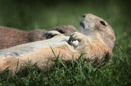 Marc Gallant / Winnipeg Free Press.  Local/Weather Standup- Catching rays. Prairie Dog stretches out at Fort Whyte Centre. Fort Whyte has a Prairie Dog enclosure with aprox. 20 dogs young and old. 060607.