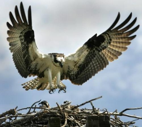 JOE BRYKSA/WINNIPEG FREE PRESS Local- A large osprey lands in it's nest in a h