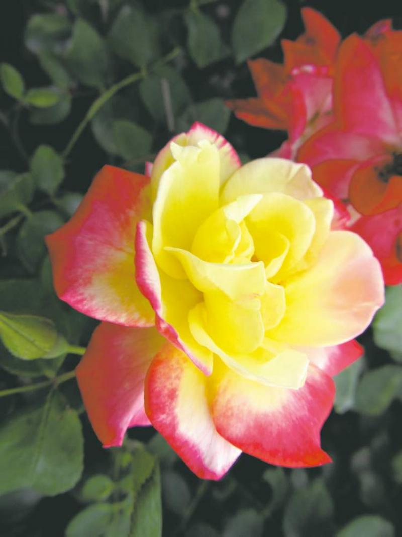 Gardening Roses Are Red And Tri Coloured Too Winnipeg Free