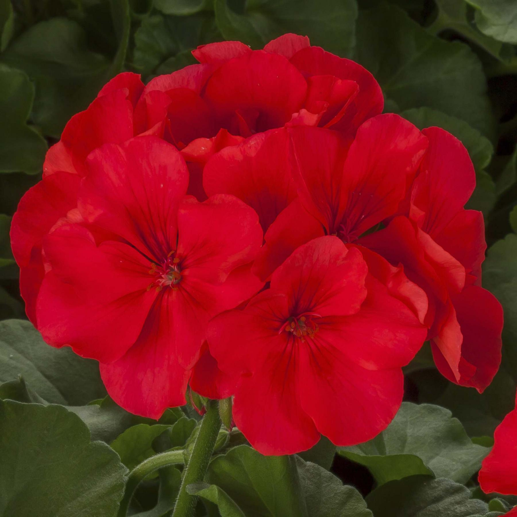<p>The Calliope geranium is named for the Greek goddess of eloquence and poetry.</p>