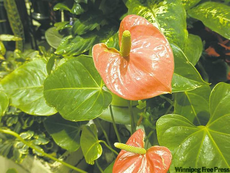 colleen - Low Light Flowering House Plants