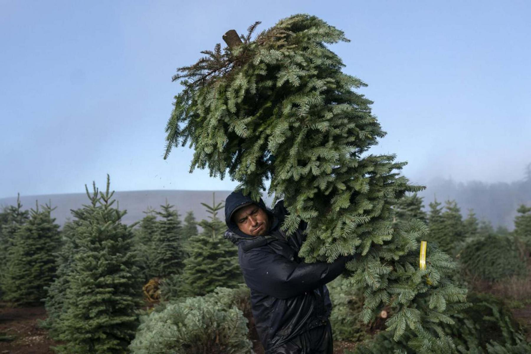 <p>Nathan Howard / Getty Images</p><p>A worker carries cut Christmas trees last month at Noble Mountain Tree Farm in Salem, Ore.</p>