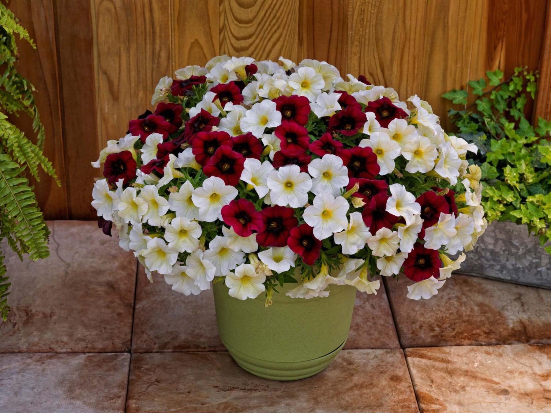 <p>Colleen Zacharias / Winnipeg Free Press</p><p>SuperCal Petchoa combines the best attributes of petunias and calibrachoas.</p>