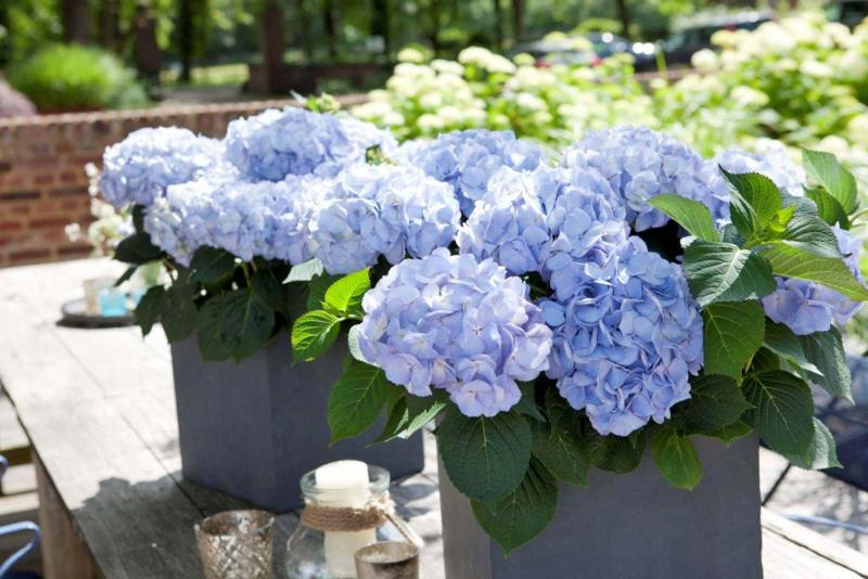<p>Ball Horticultural</p><p>Kanmara Blue is the holy grail of potted hydrangeas. No aluminum sulfate is required to obtain these blue blooms.</p>