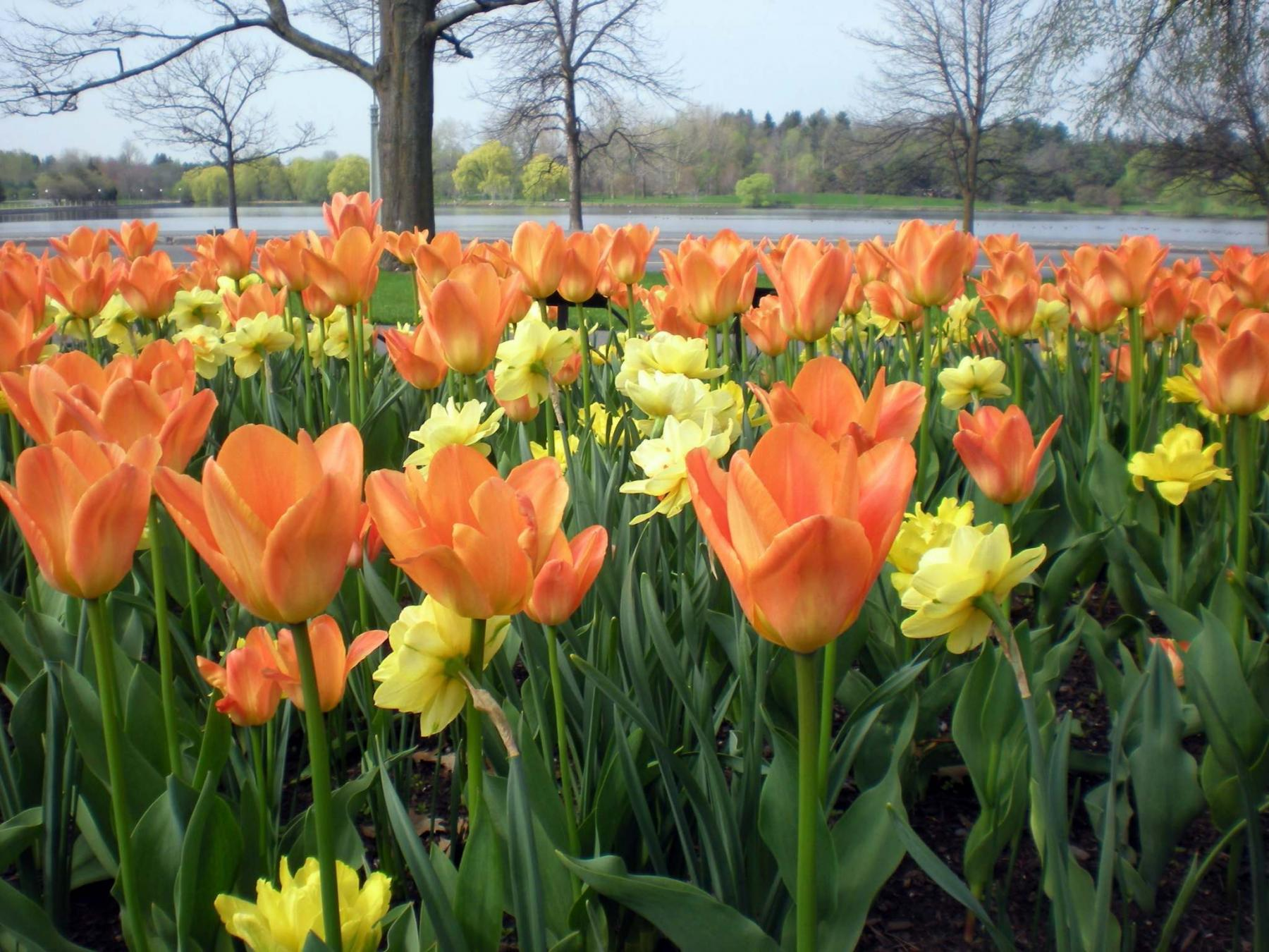 <p>National Capital Commission</p><p>The Liberation75 tulip honours the Canadian men and women who served during the Second World War.</p>