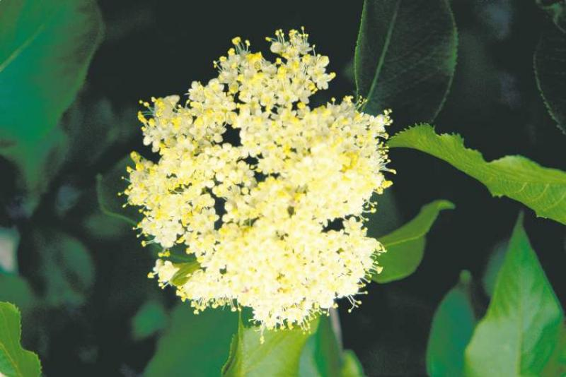 Gardening going local winnipeg free press homes the flat clusters of nannyberrys white flowers mightylinksfo Images