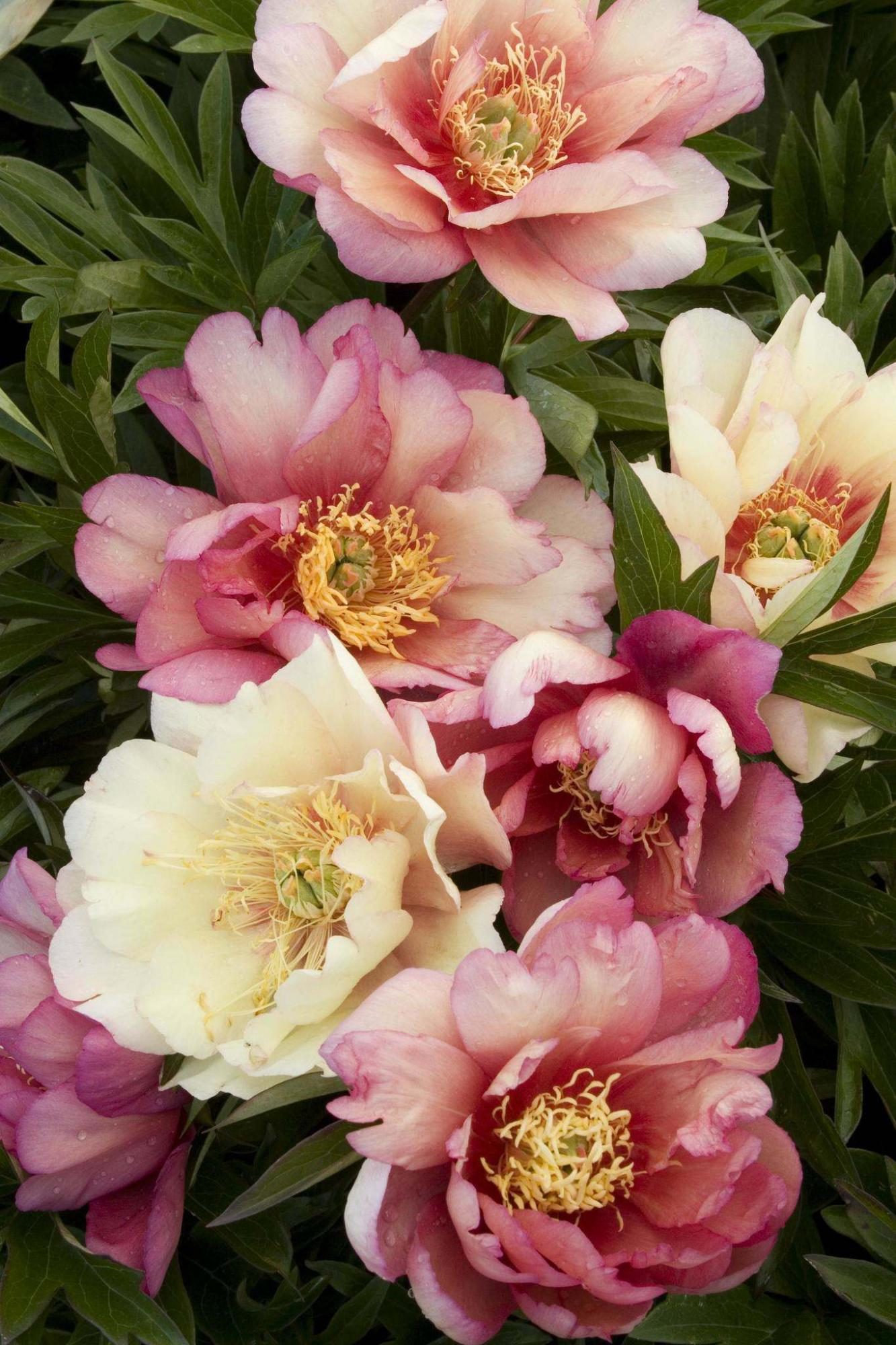 <p>Monrovia</p><p>The silky flowers of Julia Rose Itoh peony have a slightly spicy fragrance.</p>