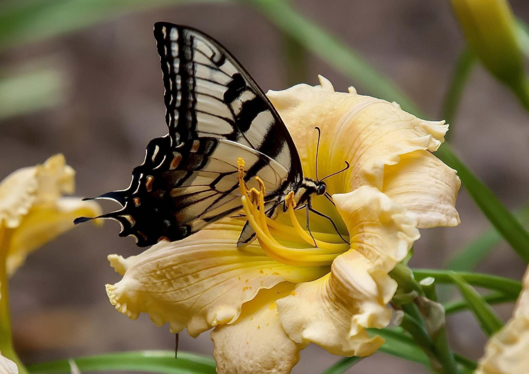 <p>Norman Winter / TNS</p><p>This Eastern Tiger Swallowtail is finding his feast on a Rainbow Rhythm Orange Smoothie daylily. </p>