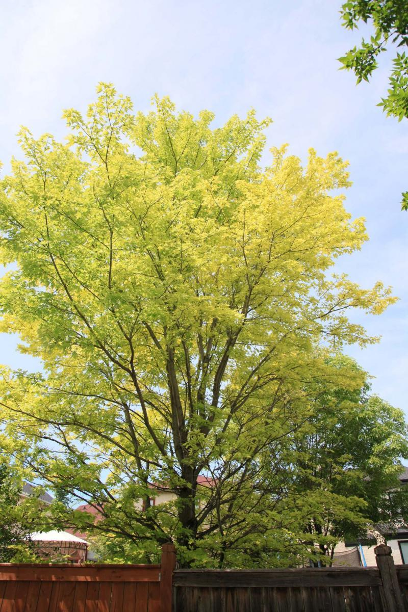 Prevent Trees From Producing Premature Yellow Leaves Winnipeg Free