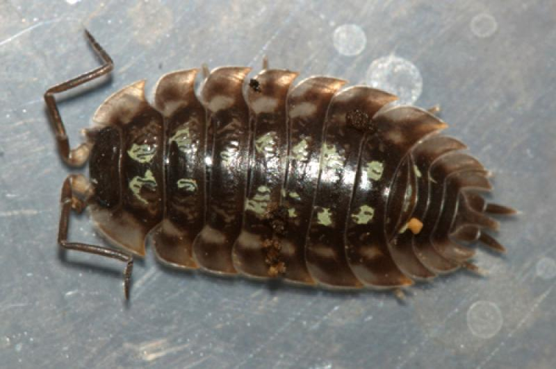sow bugs how to get rid of them