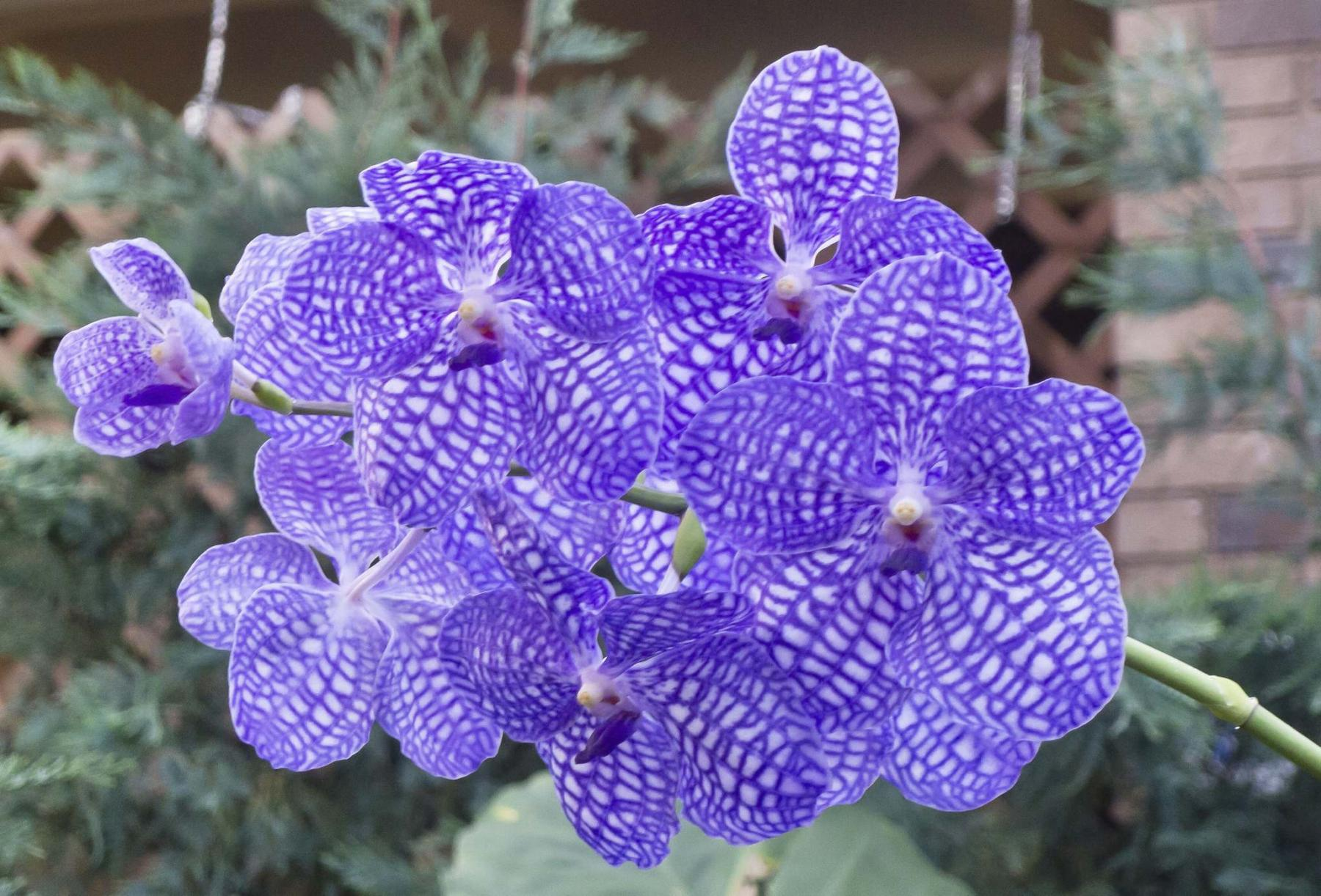 <p>Darlene Stack</p><p>Purple-veined Vanda Robert's Delight orchid is a rare beauty.</p></p>