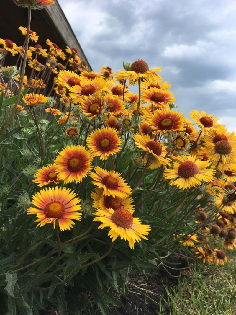 <p>Living Prairie Museum</p><p>Blanket flower (Gaillardia aristata) is a native wildflower that blooms all summer like a ray of sunshine.</p>