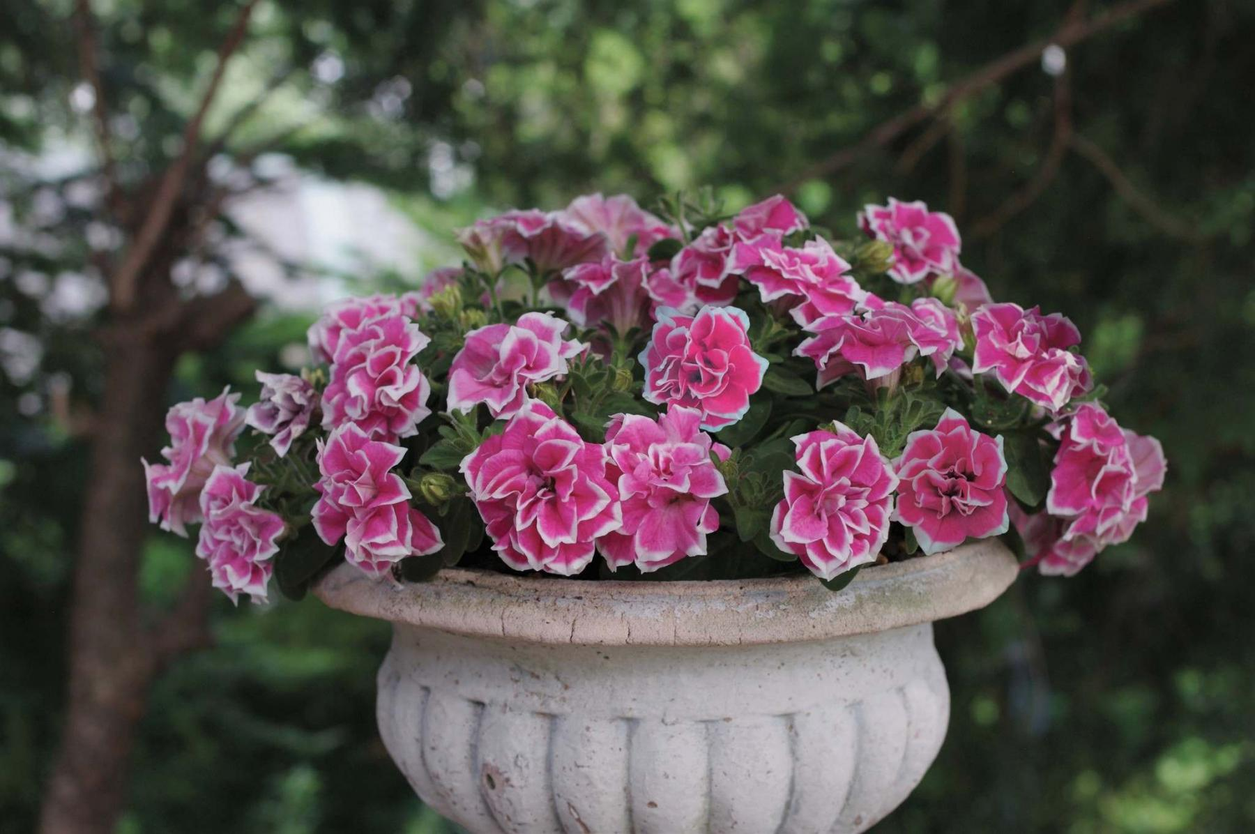 <p>Ball Horticultural</p><p>New for 2021, Pink Diamond is a double-flowering petunia.</p></p></p>