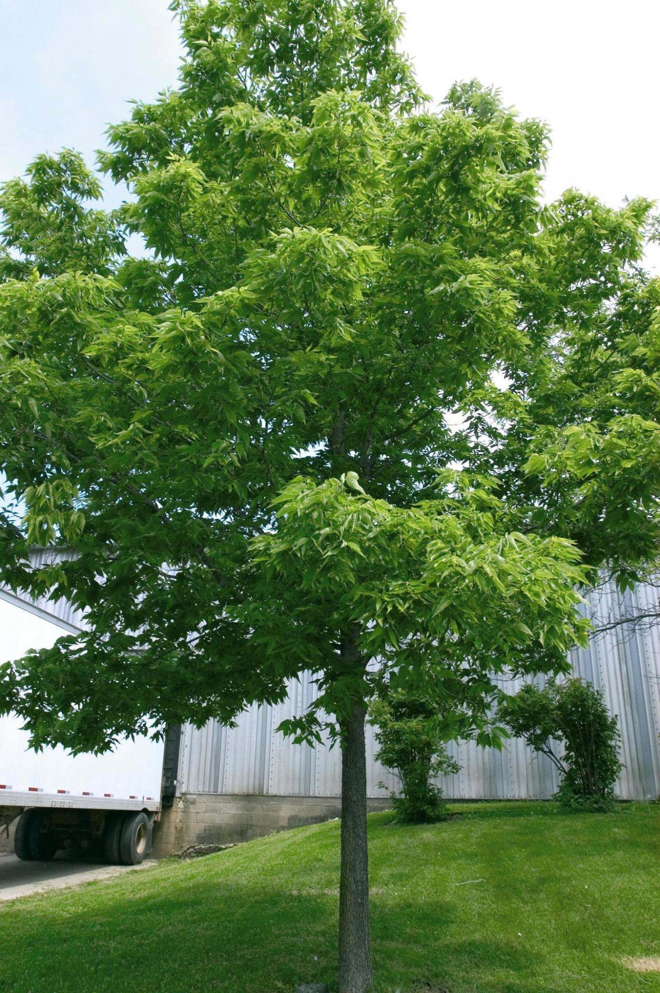 <p>Bailey Nurseries</p><p>Hackberry trees are native to Manitoba and are extremely adaptable to the urban environment.</p>