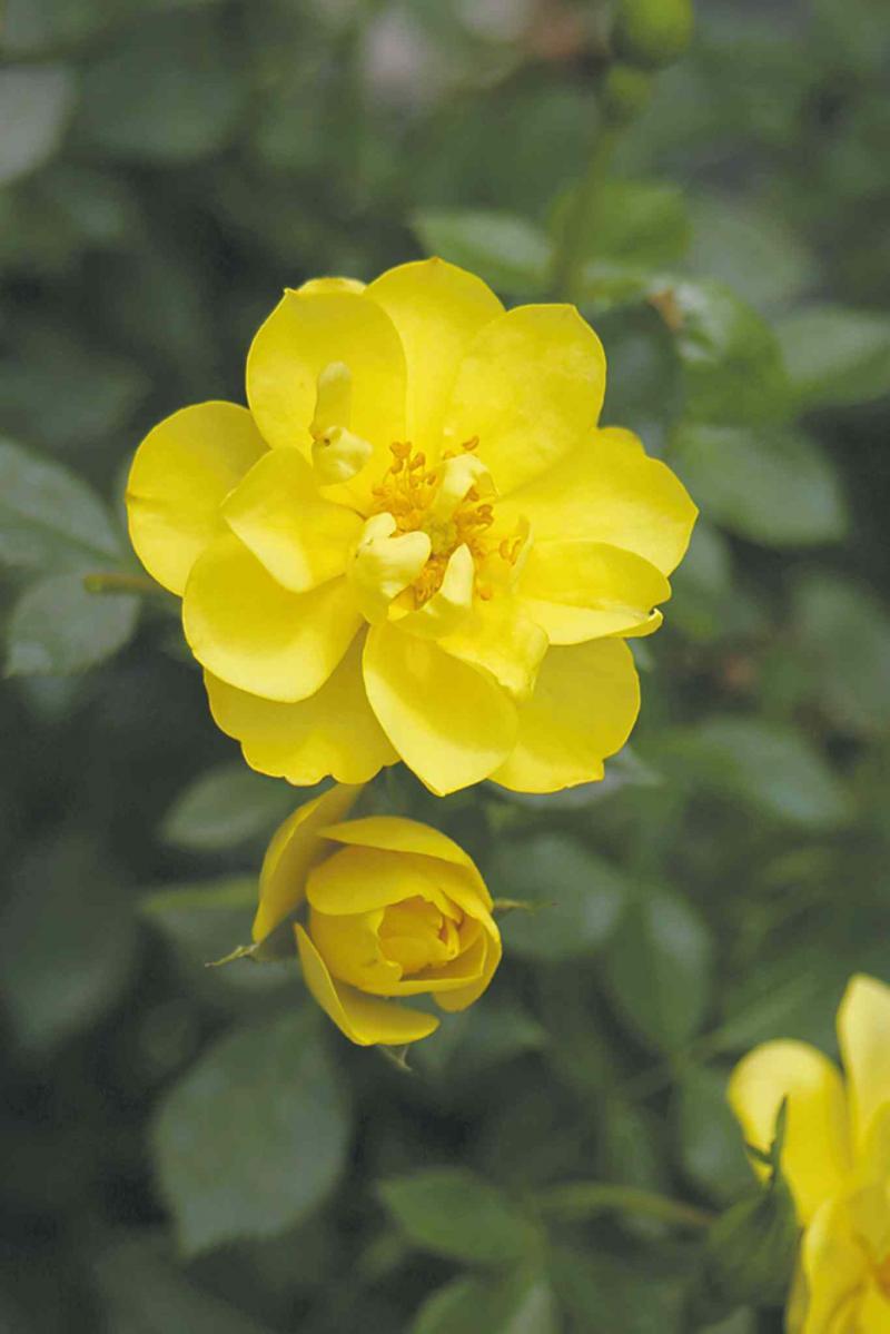 Gardening a rose is a rose winnipeg free press homes vanstone nurseriesthe bright yellow flowers mightylinksfo