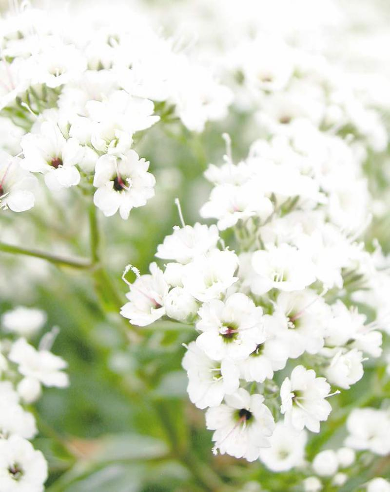 Gardening perennial joy winnipeg free press homes gypsophila or babys breath floats like a cloud over neighbouring perennials its veil of delicate bright white flowers is a standout inviting closer mightylinksfo