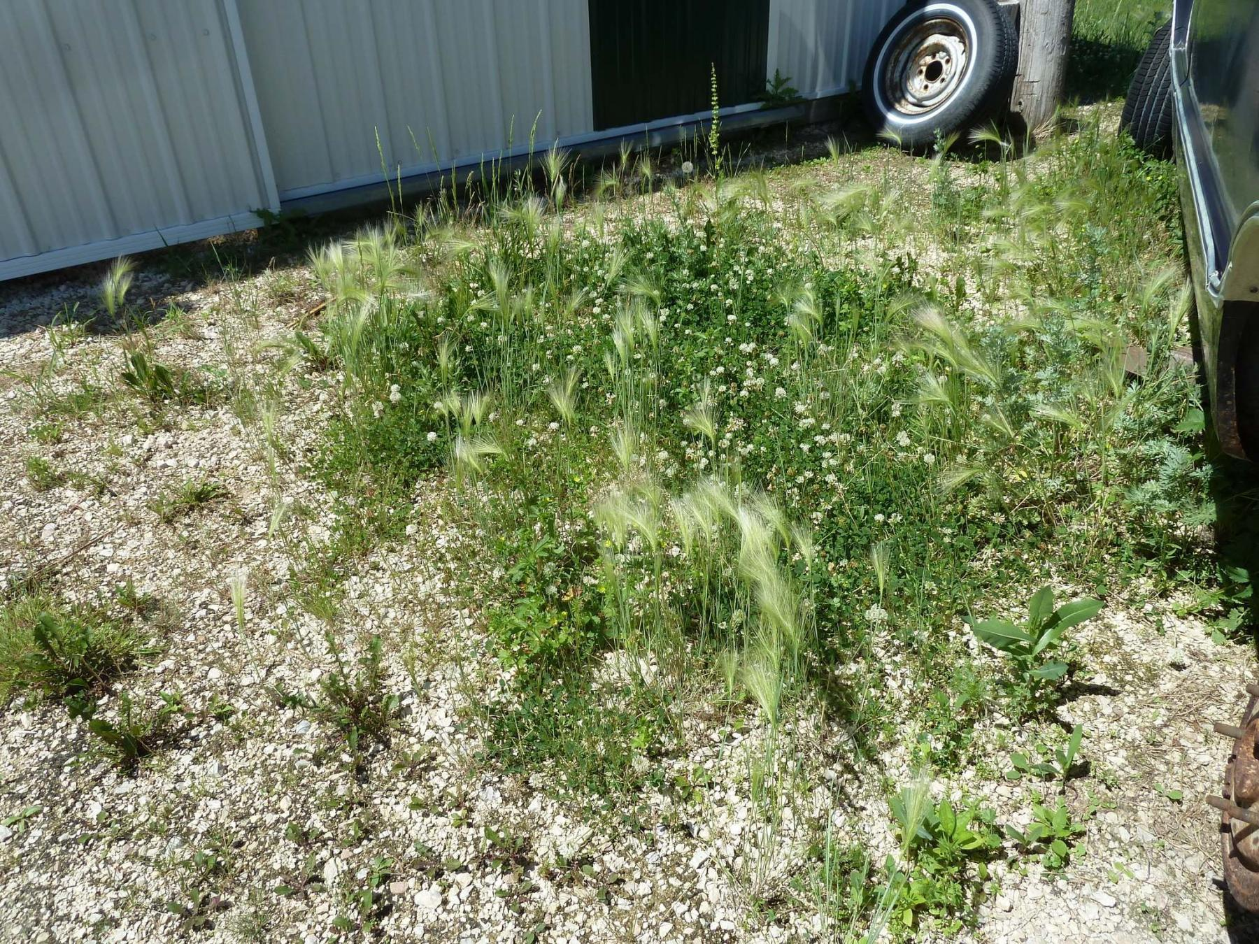 <p>Laurie Mustard / Winnipeg Free Press</p><p>Laurie Mustard is planning to try several home remedies to kill the weeds that are taking over his driveway.</p>