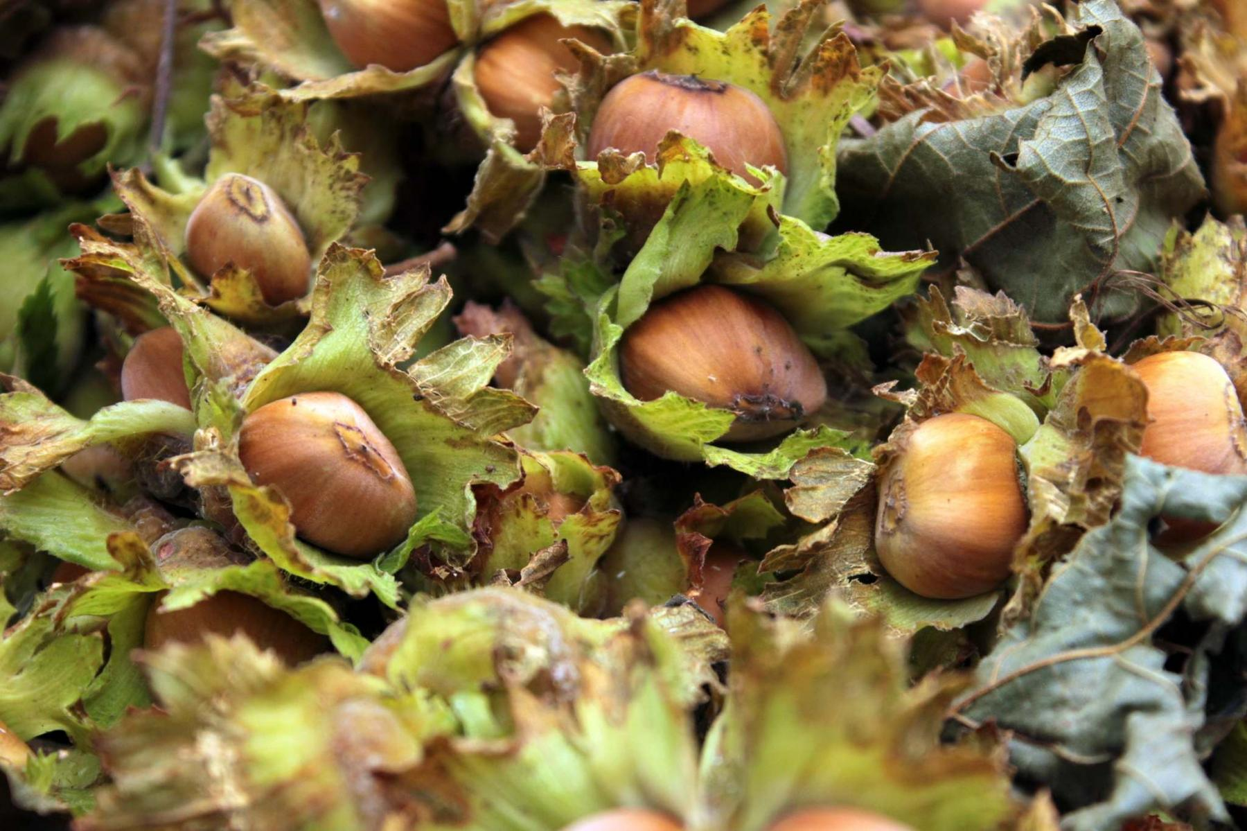 <p>Hazelbert nuts and Honeoye strawberries are two perennial and fairly resilient crops.</p>