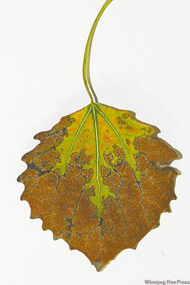 how to tell if a poplar tree is dying