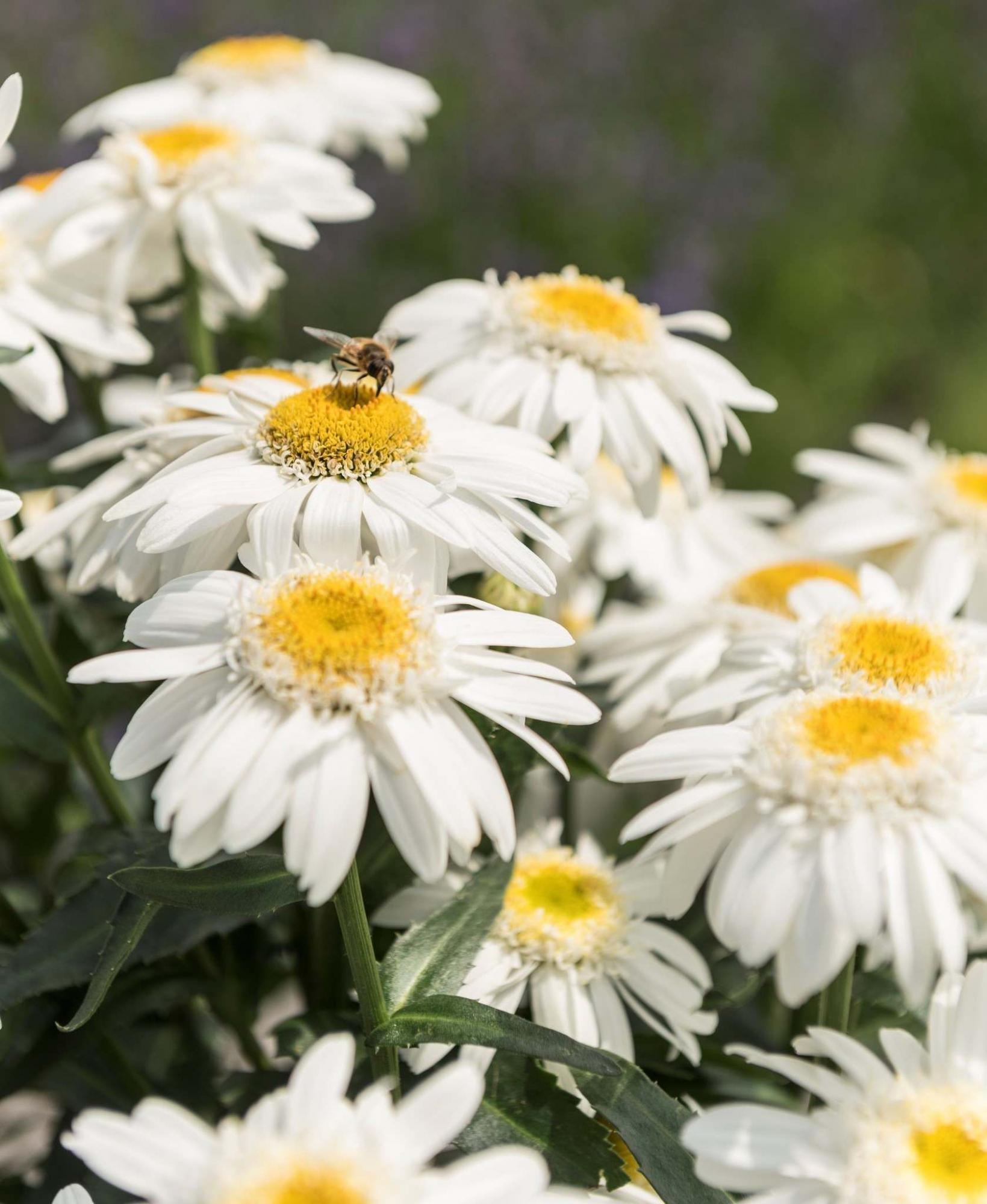 <p>Dummen Orange</p><p>Sweet Daisy Birdy shasta daisy is a new compact perennial that will bloom from June to September.</p></p></p>