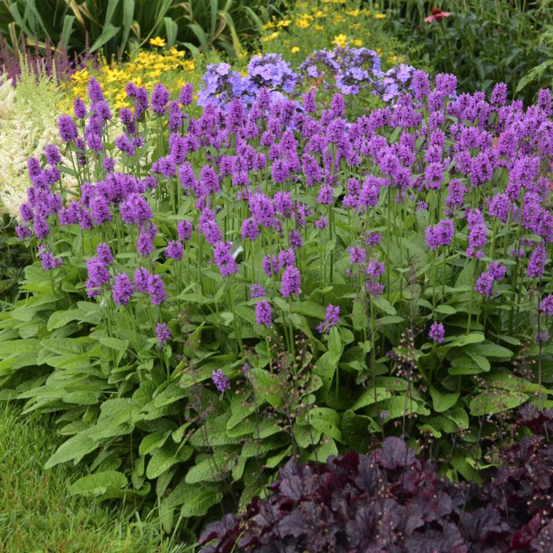 <p>Walters Gardens Inc.</p><p>Stachys monieri Hummelo, Perennial Plant of the Year for 2019, promises to be a workhorse in the garden.</p>