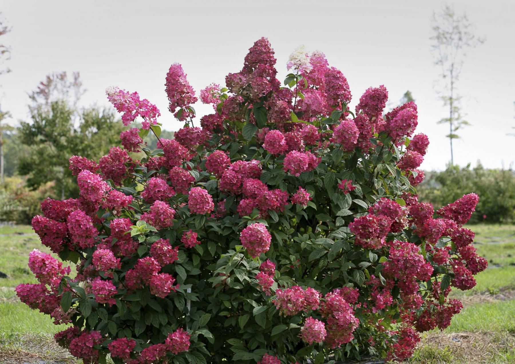 <p>PROVEN WINNERS</p><p>So easy to grow, Fire Light has been named the 2019 Hydrangea of the Year by Proven Winners.</p>