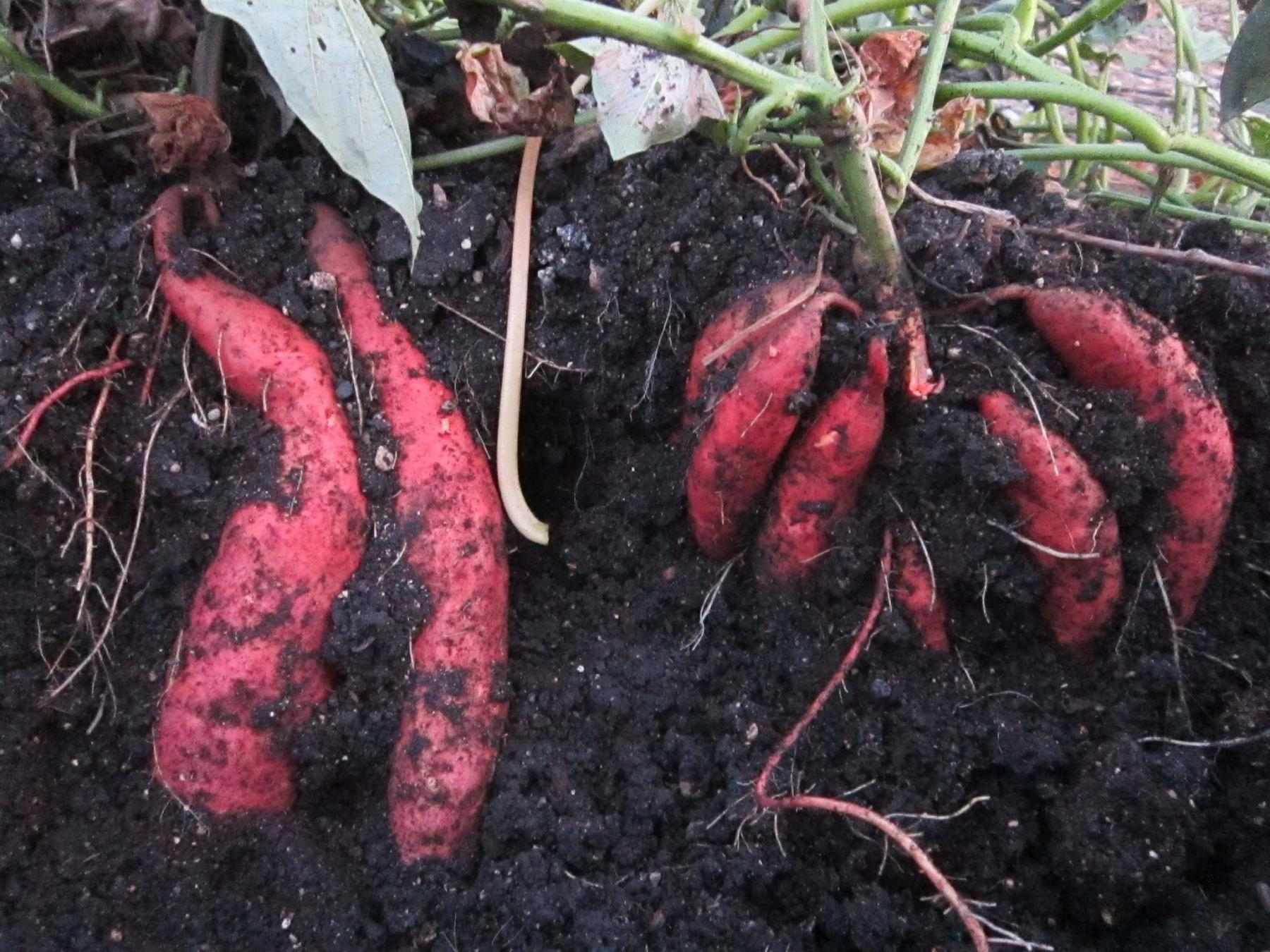 <p>Tiffany Grenkow</p><p>Sweet potato tubers growing in the soil.</p></p>