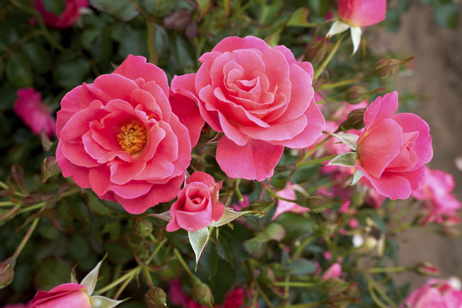 <p>Vineland Research and Innovation</p><p>Disease-resistant Aurora Borealis, new for 2021, is an excellent choice for a sustainable rose garden.</p></p>