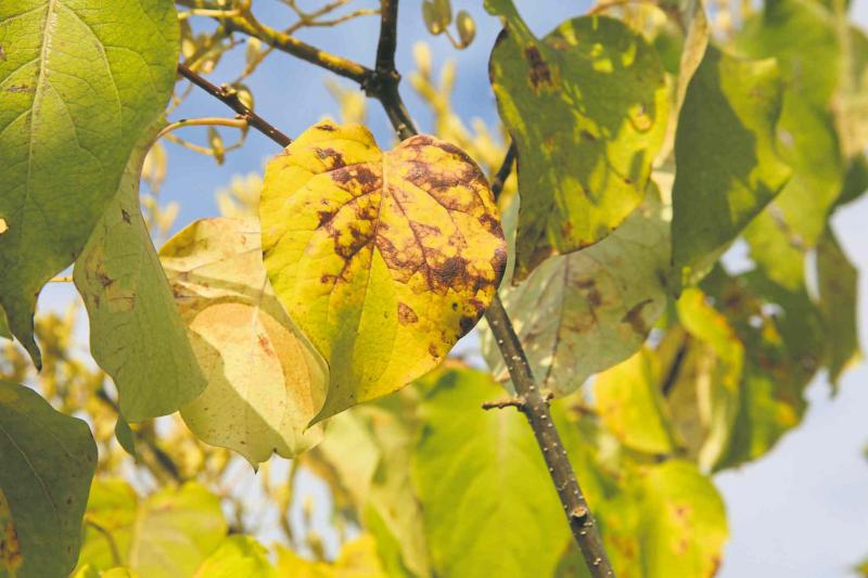 Continuing issues with japanese tree lilacs winnipeg free press anthracnose fungus disease on japanese tree lilac leaves publicscrutiny Image collections
