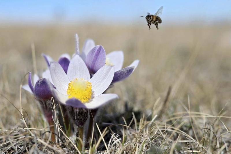 <p>Tim Smith / Brandon Sun files</p><p>Prairie Crocus' begins to bloom in a pasture on the north side of the Assiniboine River Valley north of Alexander on Tuesday afternoon. The prairie crocus is Manitoba's official flower and one of the first to bloom each spring.</p></p>
