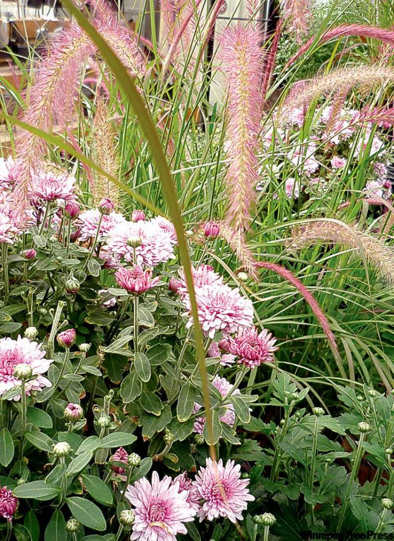 Fall for cabbages and chrysanthemums winnipeg free press homes adonis purple annual mum with pennisetum rubrum fall annuals provide rich colour and thrive in cooler temperatures izmirmasajfo