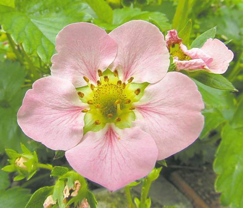 Gardening strawberry and raspberry fields forever winnipeg free teresa lopataday neutral strawberry plants produce very attractive large pink flowers mightylinksfo