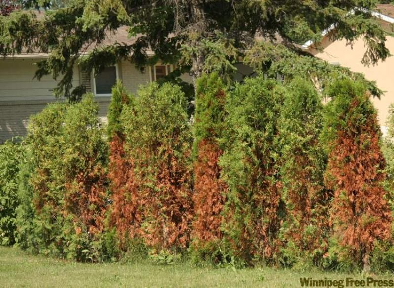 TREE CARE Preparing coniferous evergreen trees and shrubs for