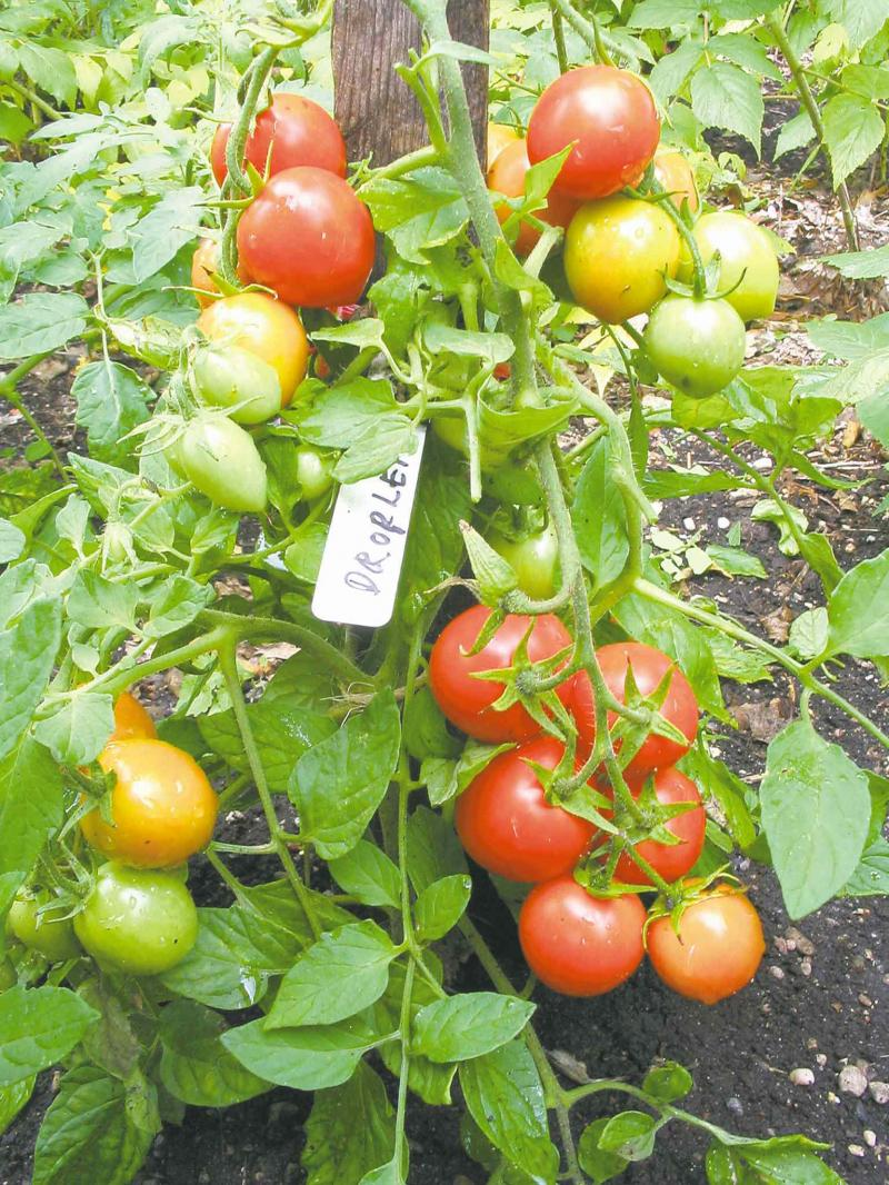 Tomatoes - mulching and watering