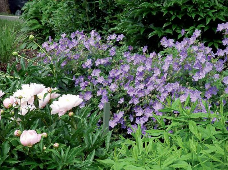 Gardening made in the dry and shade winnipeg free press homes sandy venton photocranesbill geranium a groundcover perennial that will tolerate dry shade flowers mightylinksfo