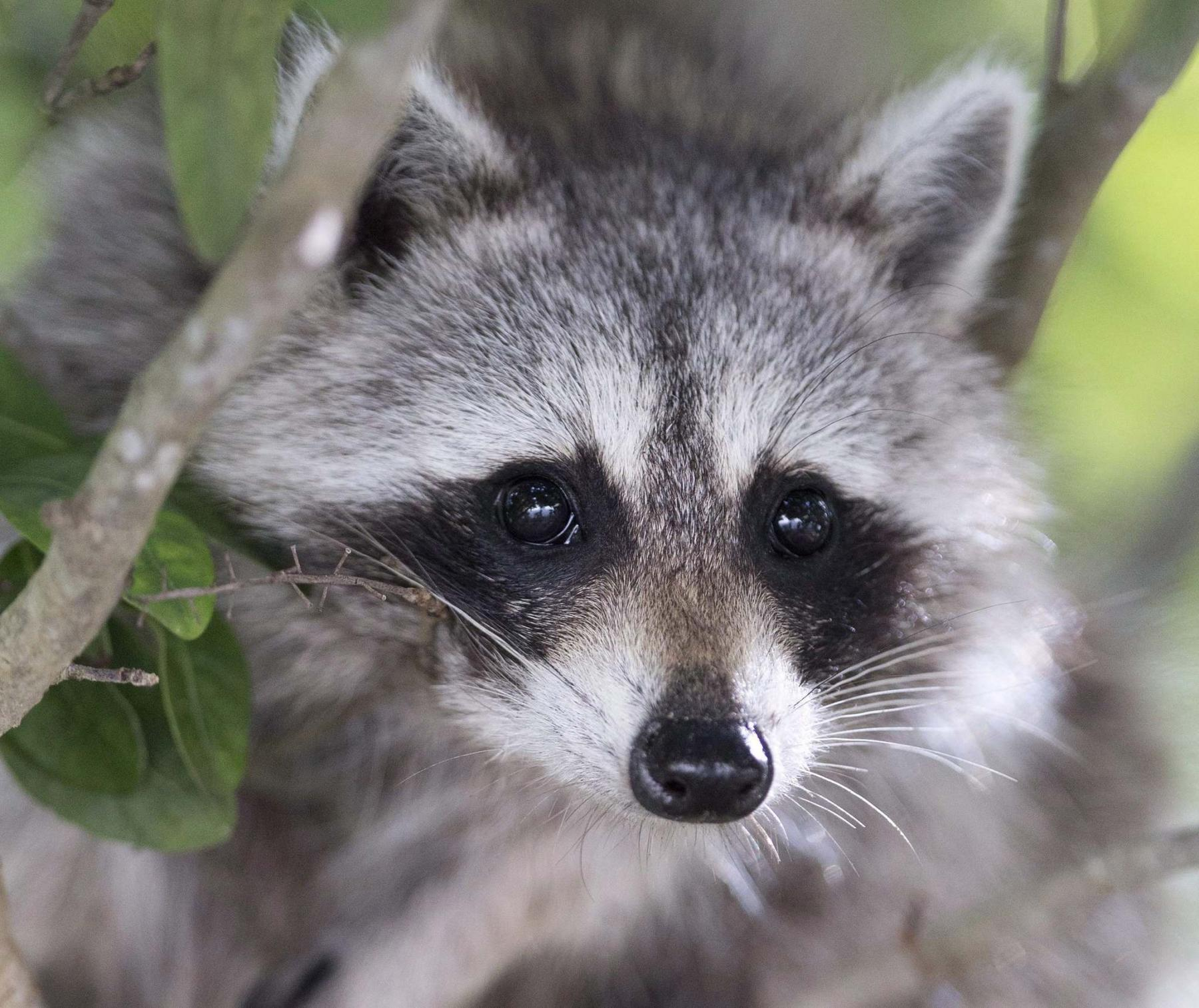 <p>Wilfredo Lee / Canadian Press files</p><p>Raccoons don't like loud noises, so if you make a racket they will probably vacate. </p>