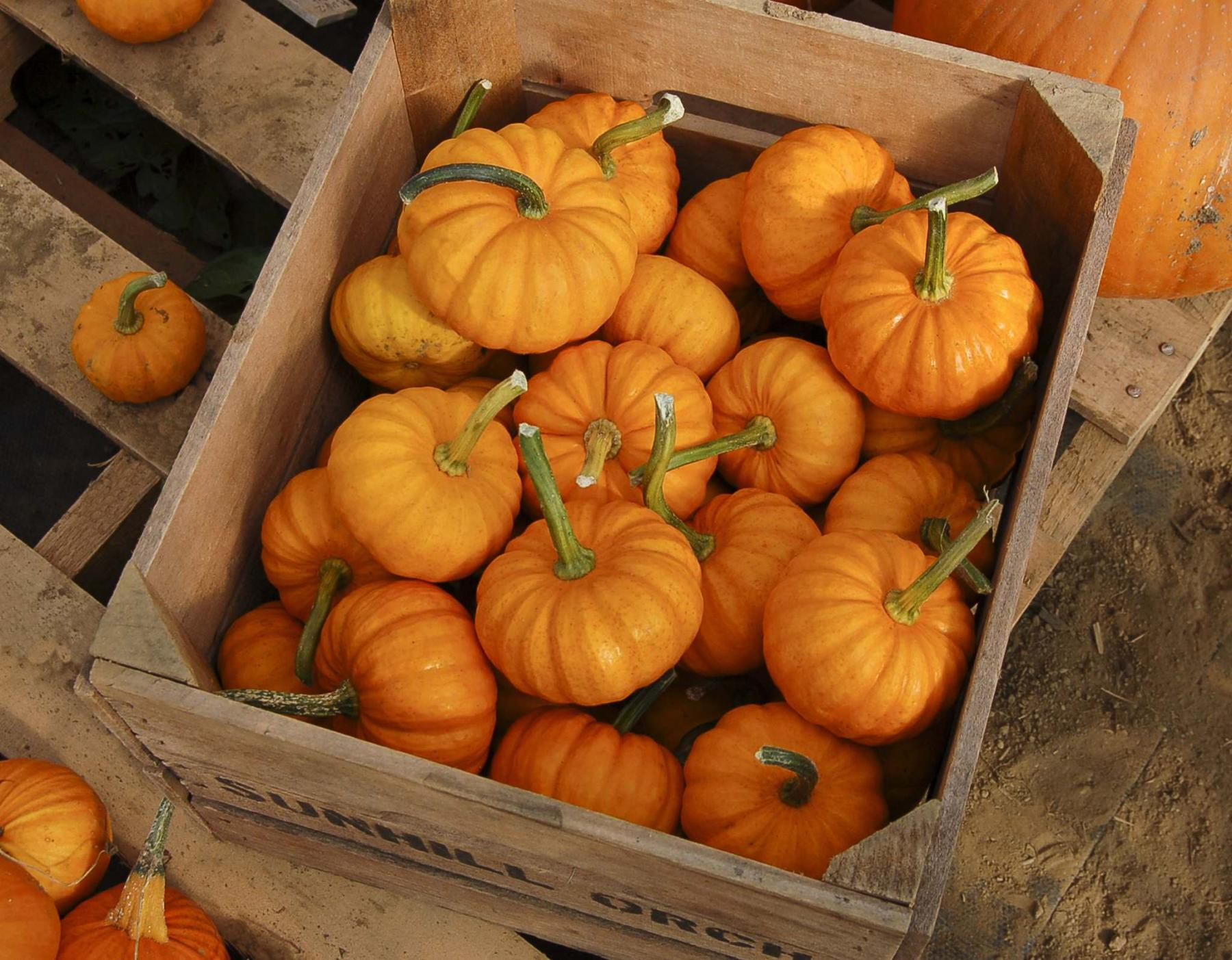 <p>High Mowing Organic Seeds</p><p>Think of all the decorative uses for Jack Be Little mini pumpkins — and they are edible.</p></p></p>