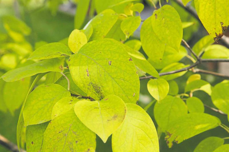 Continuing issues with japanese tree lilacs winnipeg free press nutrient stressed yellow tree lilac leaves anthracnose fungus disease on japanese publicscrutiny Image collections