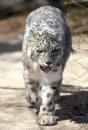 A Snow Leopard ...