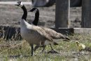 A gosling ...