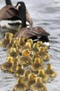 A gaggle of Canada geese goslings at Woodsworth Park in Winnipeg Monday- See Project Honk Day 05- May 07, 2012   (JOE BRYKSA / WINNIPEG FREE PRESS)