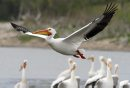 An American White Pelican takes flight from the banks of the Red River in Lockport, MB. A group of pelicans is referred to as a 'pod' and the American White Pelican is the only pelican species to have a horn on its bill. May 16, 2012. SARAH O. SWENSON / WINNIPEG FREE PRESS