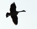 A goose comes ...