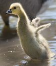 A young gosling flaps his wings after taking a bath in the duck pond at St Vital Park Tuesday morning- - Day 21– June 12, 2012   (JOE BRYKSA / WINNIPEG FREE PRESS)